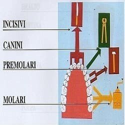 Forma dei denti dentista Roma Termini.